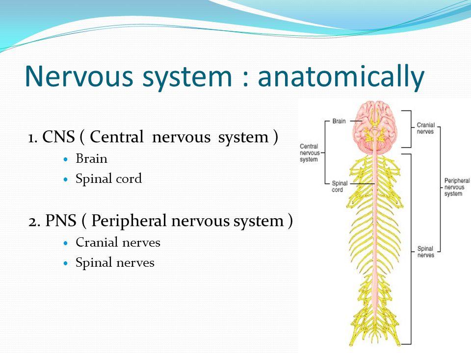 Cerebrum ( forebrain ) Insula lobe Secondary ascending gustatory tract : รับรส Secondary ascending visceral tract : รับความรู้สึก อวัยวะภายใน
