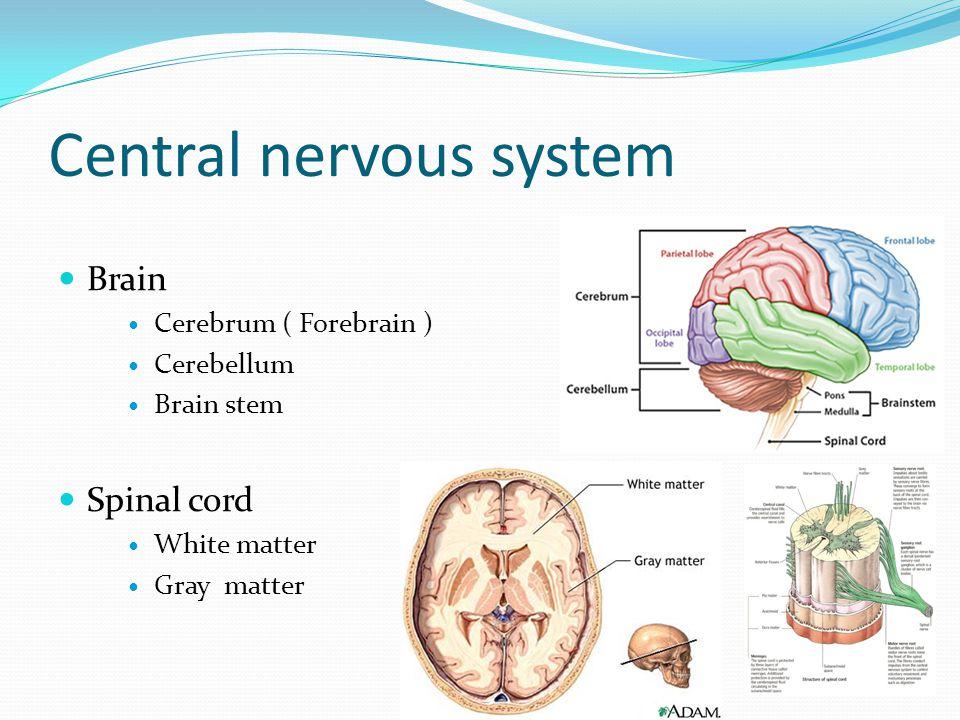 Central nervous system Brain Cerebrum ( Forebrain ) Cerebellum Brain stem Spinal cord White matter Gray matter