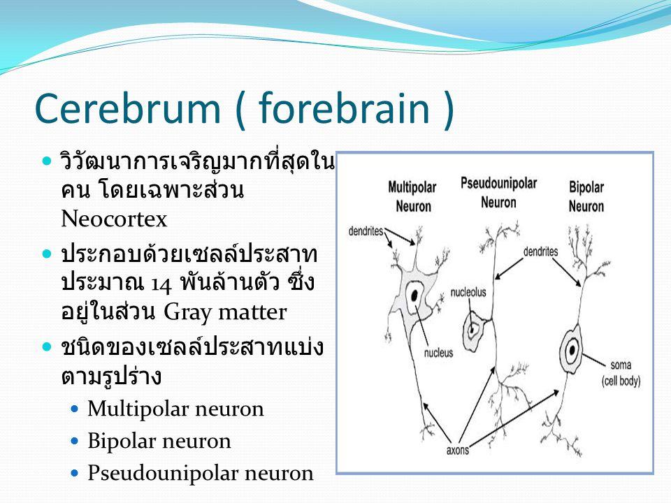 Cerebrum ( forebrain ) หน้าที่ของสมองใหญ่ การรับความรู้สึก การรับภาพ การได้ยิน การรับรส การรับกลิ่น การรับความรู้สึกทั่วไป การเคลื่อนไหว ความจำและการเรียนรู้ อารมณ์และพฤติกรรม ภาษา