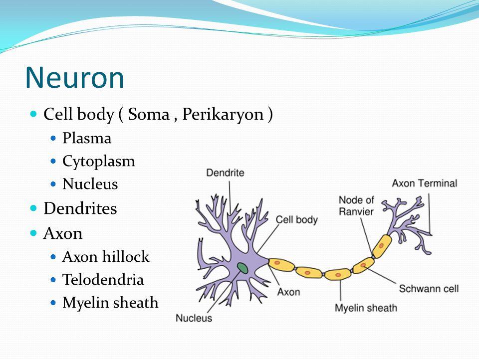 Neuron Cell body ( Soma, Perikaryon ) Plasma Cytoplasm Nucleus Dendrites Axon Axon hillock Telodendria Myelin sheath