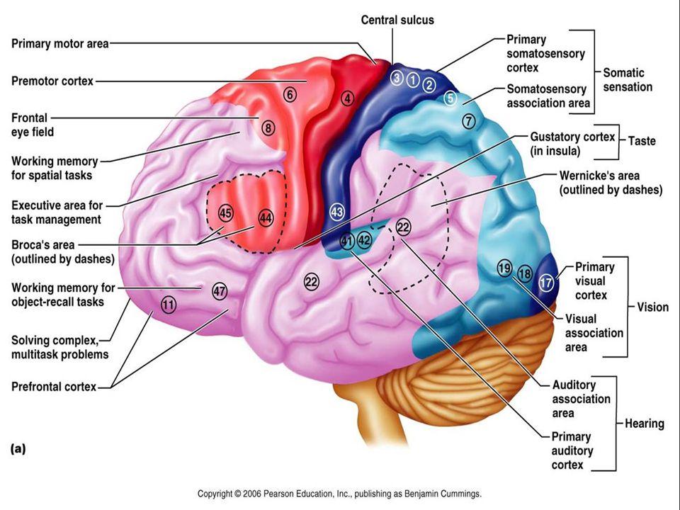 Cerebrum ( forebrain ) Frontal lobe Precentral gyrus / anterior paracentral lobule Motor area ( homunculus, pyramidal tract ) Superior frontal gyrus Premotor area ( extrapyramidal tract ) Middle frontal gyrus Voluntary conjugate eye movement Exner's area Inferior frontal gyrus Broca's area ( motor speech area ) Prefrontal cortex Working memory