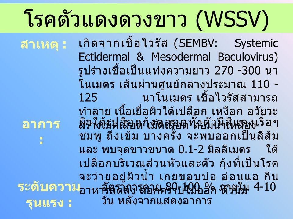 โรคตัวแดงดวงขาว (WSSV) สาเหตุ : อาการ : ระดับความ รุนแรง : เกิดจากเชื้อไวรัส (SEMBV: Systemic Ectidermal & Mesodermal Baculovirus) รูปร่างเชื้อเป็นแท่งความยาว 270 -300 นา โนเมตร เส้นผ่านศูนย์กลางประมาณ 110 - 125 นาโนเมตร เชื้อไวรัสสามารถ ทำลาย เนื้อเยื่อผิวใต้เปลือก เหงือก อวัยวะ สร้างเม็ดเลือด เม็ดเลือด ต่อมน้ำเหลือง ผิวใต้เปลือกกุ้งตลอดทั้งตัวมีสีแดงเรื่อๆ ชมพู ถึงเข้ม บางครั้ง จะพบออกเป็นสีส้ม และ พบจุดขาวขนาด 0.1-2 มิลลิเมตร ใต้ เปลือกบริเวณส่วนหัวและตัว กุ้งที่เป็นโรค จะว่ายอยู่ผิวน้ำ เกยขอบบ่อ อ่อนแอ กิน อาหารลดลง ลอกคราบไม่ออก ตัวนิ่ม อัตราการตาย 80-100 % ภายใน 4-10 วัน หลังจากแสดงอาการ