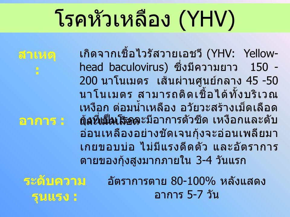 โรคหัวเหลือง (YHV) สาเหตุ : อาการ : ระดับความ รุนแรง : เกิดจากเชื้อไวรัสวายเอชวี (YHV: Yellow- head baculovirus) ซึ่งมีความยาว 150 - 200 นาโนเมตร เส้นผ่านศูนย์กลาง 45 -50 นาโนเมตร สามารถติดเชื้อได้ทั้งบริเวณ เหงือก ต่อมน้ำเหลือง อวัยวะสร้างเม็ดเลือด และเม็ดเลือด กุ้งที่เป็นโรคจะมีอาการตัวซีด เหงือกและตับ อ่อนเหลืองอย่างชัดเจนกุ้งจะอ่อนเพลียมา เกยขอบบ่อ ไม่มีแรงดีดตัว และอัตราการ ตายของกุ้งสูงมากภายใน 3-4 วันแรก อัตราการตาย 80-100% หลังแสดง อาการ 5-7 วัน