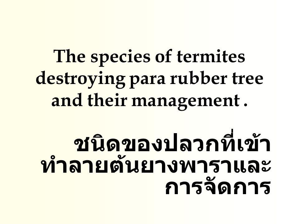 ปลวกและการเข้าทำลาย ยางพารา ปลวกใต้ดิน (Subterrenean Termites) ชื่อว่า วิทยาศาสตร์ Coptotermes curvignathus จัดอยู่ในวงศ์ Rhinotermitidae ปลวกสกุล Coptotermes curvignathus ที่มา : http://mpob.gov.my., 2006
