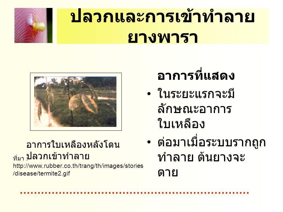 ปลวกและการเข้าทำลาย ยางพารา อาการที่แสดง ในระยะแรกจะมี ลักษณะอาการ ใบเหลือง ต่อมาเมื่อระบบรากถูก ทำลาย ต้นยางจะ ตาย อาการใบเหลืองหลังโดน ปลวกเข้าทำลาย ที่มา : http://www.rubber.co.th/trang/th/images/stories /disease/termite2.gif
