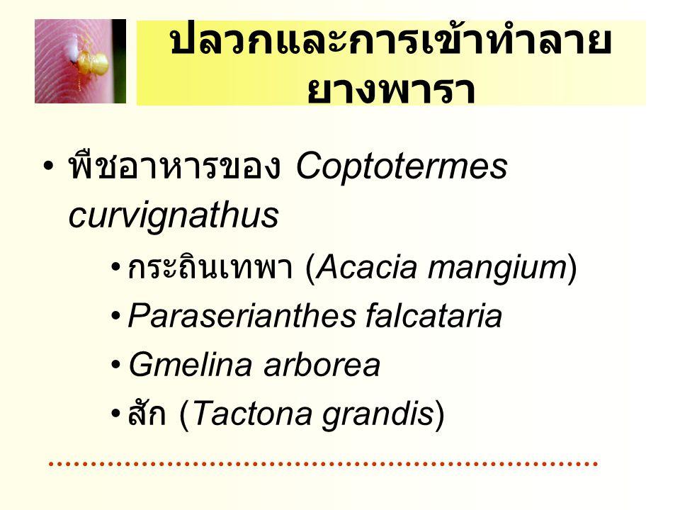 ปลวกและการเข้าทำลาย ยางพารา พืชอาหารของ Coptotermes curvignathus กระถินเทพา (Acacia mangium) Paraserianthes falcataria Gmelina arborea สัก (Tactona grandis)
