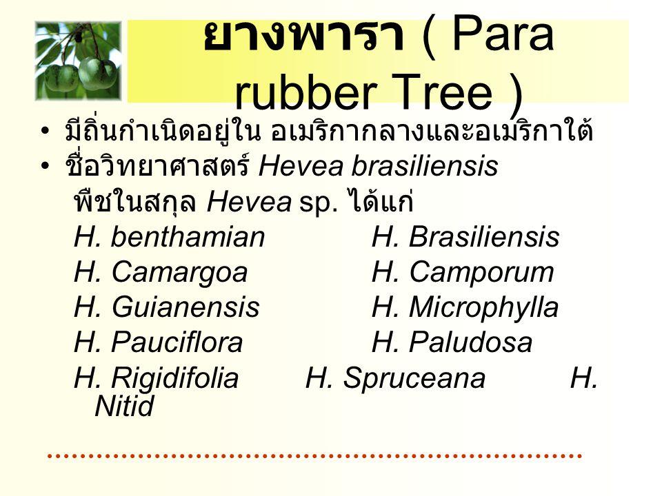 ยางพารา ( Para rubber Tree ) มีถิ่นกำเนิดอยู่ใน อเมริกากลางและอเมริกาใต้ ชื่อวิทยาศาสตร์ Hevea brasiliensis พืชในสกุล Hevea sp. ได้แก่ H. benthamian H