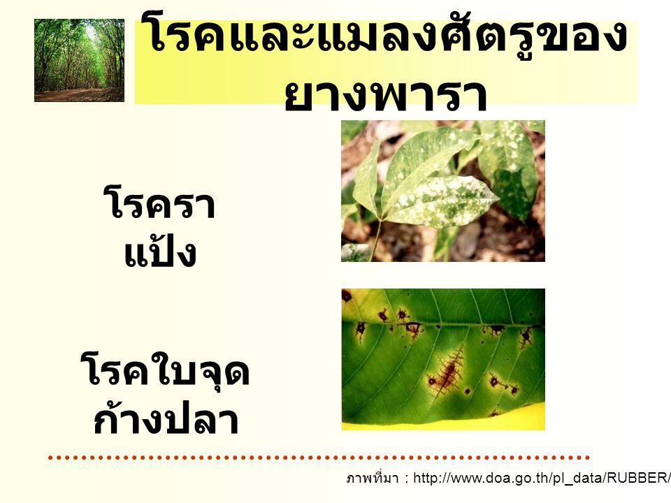 โรคและแมลงศัตรูของ ยางพารา โรครา แป้ง โรคใบจุด ก้างปลา ภาพที่มา : http://www.doa.go.th/pl_data/RUBBER/5pest/Image/pest08.jpg