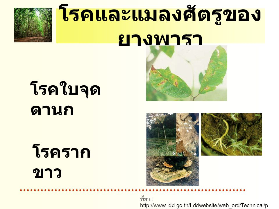 โรคและแมลงศัตรูของ ยางพารา โรคใบจุด ตานก โรคราก ขาว ที่มา : http://www.ldd.go.th/Lddwebsite/web_ord/Technical/p df/P_Technical06020.pdf