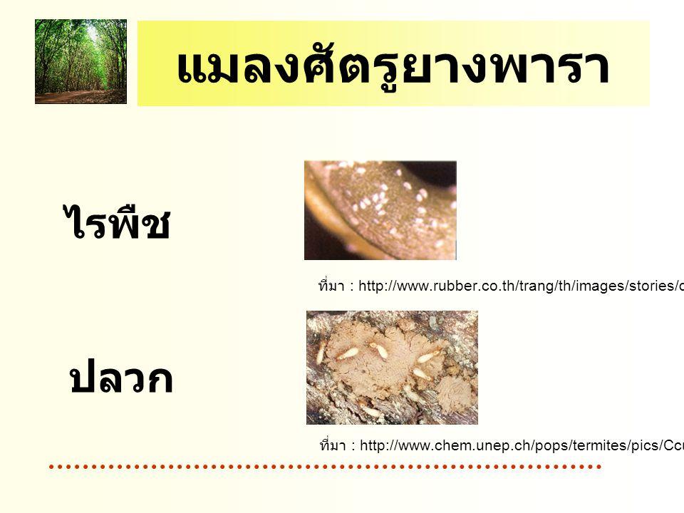 แมลงศัตรูยางพารา ไรพืช ปลวก ที่มา : http://www.rubber.co.th/trang/th/images/stories/disease/rye1.gif ที่มา : http://www.chem.unep.ch/pops/termites/pics/Ccurvignathus.jpg