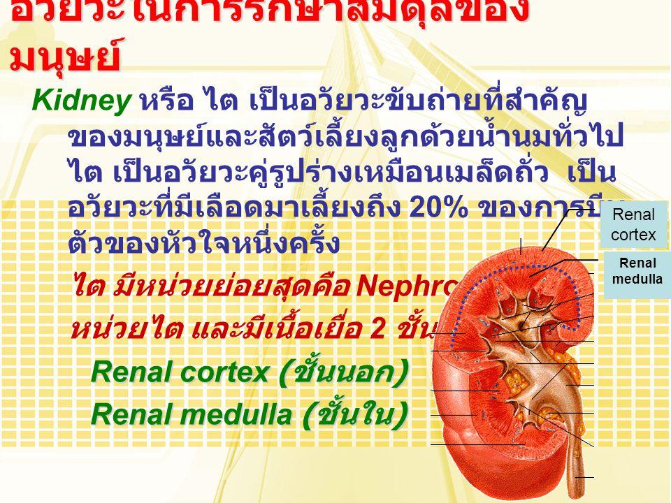 Kidney หรือ ไต เป็นอวัยวะขับถ่ายที่สำคัญ ของมนุษย์และสัตว์เลี้ยงลูกด้วยน้ำนมทั่วไป ไต เป็นอวัยวะคู่รูปร่างเหมือนเมล็ดถั่ว เป็น อวัยวะที่มีเลือดมาเลี้ย