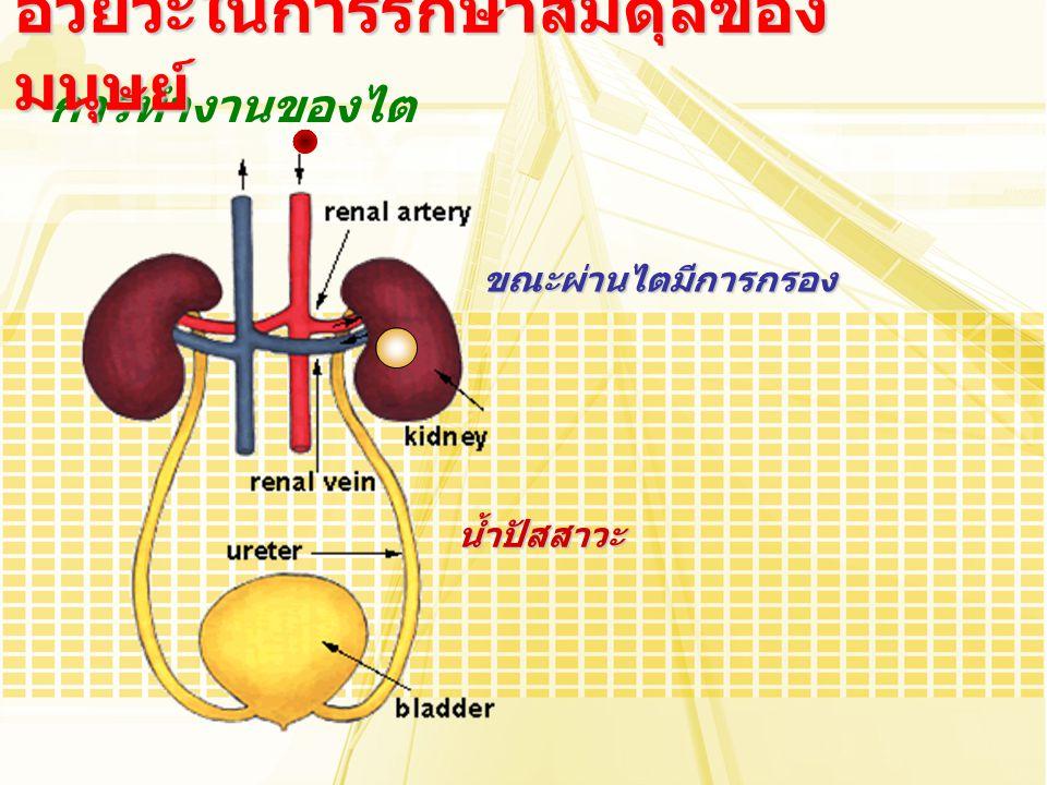 การทำงานของไต อวัยวะในการรักษาสมดุลของ มนุษย์ ขณะผ่านไตมีการกรอง น้ำปัสสาวะ