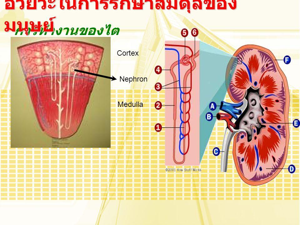 การทำงานของไต อวัยวะในการรักษาสมดุลของ มนุษย์ Cortex Medulla Nephron