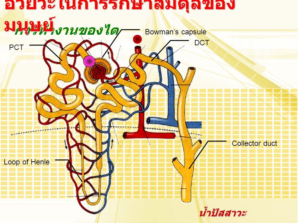 การทำงานของไต อวัยวะในการรักษาสมดุลของ มนุษย์ Bowman's capsule Collector duct Loop of Henle PCT DCT น้ำปัสสาวะ