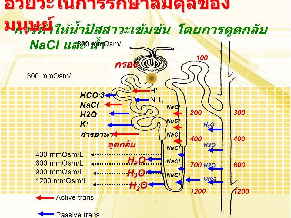 การทำให้น้ำปัสสาวะเข้มข้น โดยการดูดกลับ NaCl และ น้ำ อวัยวะในการรักษาสมดุลของ มนุษย์ 300 mmOsm/L กรอง HCO - 3 NaCl H2O K + สารอาหาร ดูดกลับ Active tra