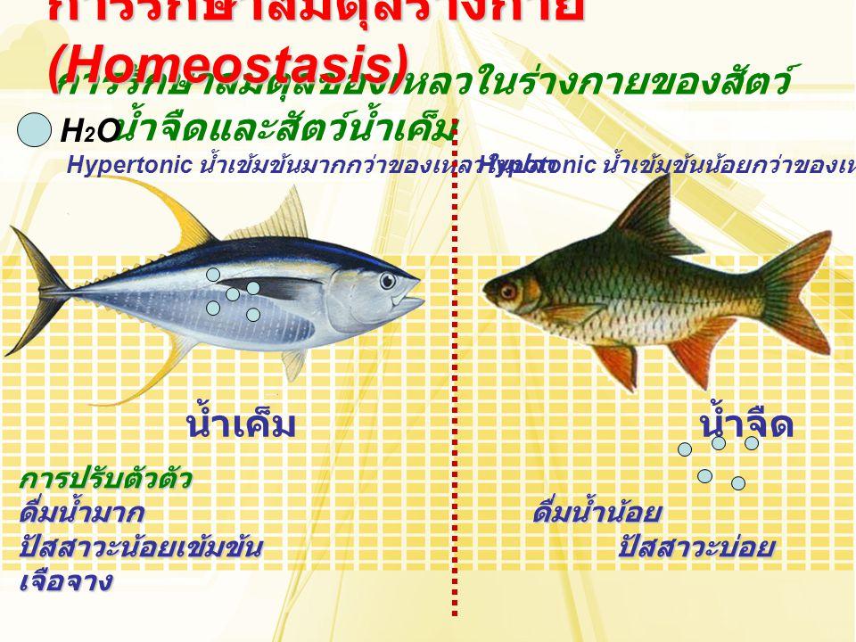 การรักษาสมดุลของเหลวในร่างกายของสัตว์ น้ำจืดและสัตว์น้ำเค็ม การรักษาสมดุลร่างกาย (Homeostasis) น้ำเค็มน้ำจืด H2OH2O Hypertonic น้ำเข้มข้นมากกว่าของเหล