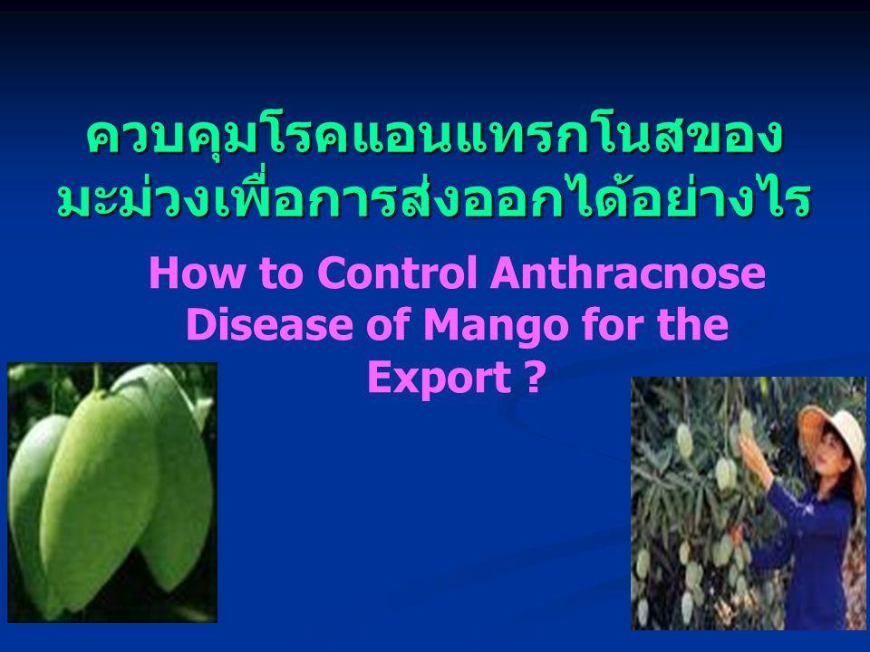 ควบคุมโรคแอนแทรกโนสของ มะม่วงเพื่อการส่งออกได้อย่างไร How to Control Anthracnose Disease of Mango for the Export ?