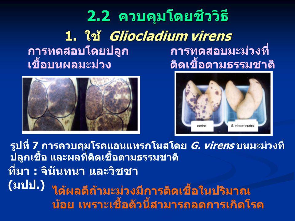 1. ใช้ Gliocladium virens การทดสอบมะม่วงที่ ติดเชื้อตามธรรมชาติ การทดสอบโดยปลูก เชื้อบนผลมะม่วง ได้ผลดีถ้ามะม่วงมีการติดเชื้อในปริมาณ น้อย เพราะเชื้อต