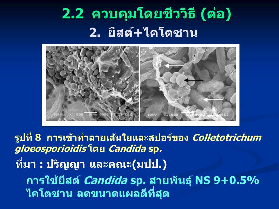 2.2 ควบคุมโดยชีววิธี (ต่อ) 2. ยีสต์+ไคโตซาน รูปที่ 8 การเข้าทำลายเส้นใยและสปอร์ของ Colletotrichum gloeosporioidis โดย Candida sp. ที่มา : ปริญญา และคณ