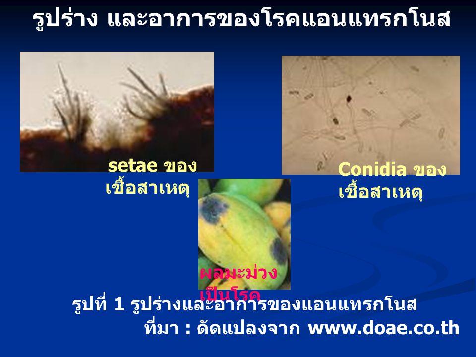 setae ของ เชื้อสาเหตุ Conidia ของ เชื้อสาเหตุ ที่มา : ดัดแปลงจาก www.doae.co.th ผลมะม่วง เป็นโรค รูปร่าง และอาการของโรคแอนแทรกโนส รูปที่ 1 รูปร่างและอ