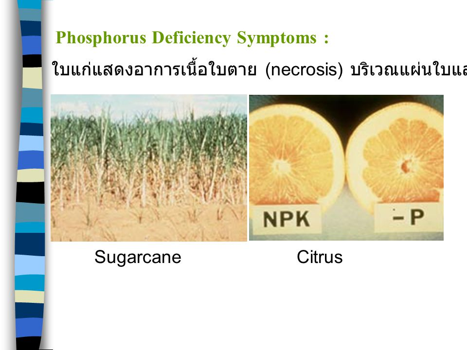 SugarcaneCitrus Phosphorus Deficiency Symptoms : ใบแก่แสดงอาการเนื้อใบตาย (necrosis) บริเวณแผ่นใบและเส้นใบ