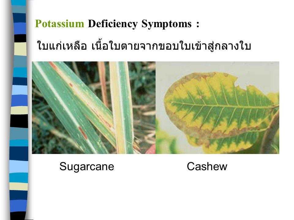SugarcaneCashew Potassium Deficiency Symptoms : ใบแก่เหลือ เนื้อใบตายจากขอบใบเข้าสู่กลางใบ