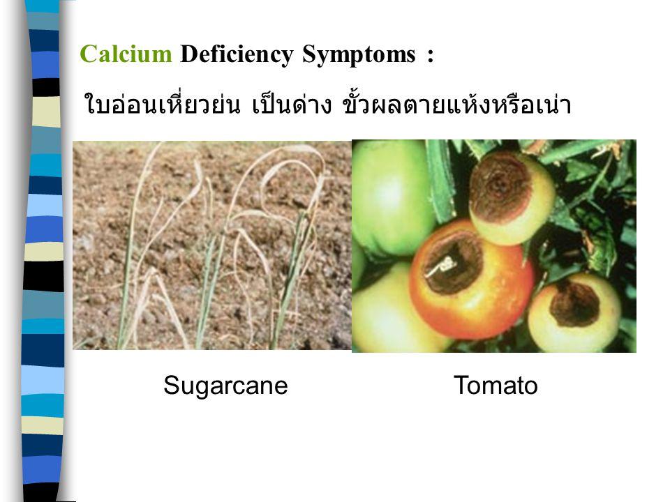 SugarcaneTomato Calcium Deficiency Symptoms : ใบอ่อนเหี่ยวย่น เป็นด่าง ขั้วผลตายแห้งหรือเน่า