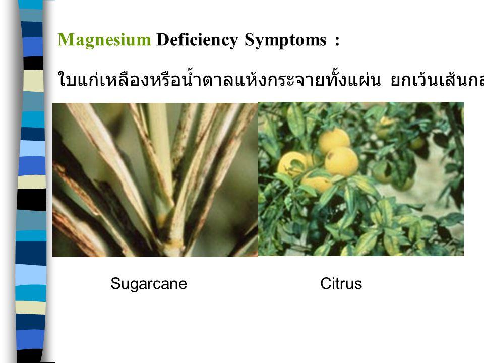 SugarcaneCitrus Magnesium Deficiency Symptoms : ใบแก่เหลืองหรือน้ำตาลแห้งกระจายทั้งแผ่น ยกเว้นเส้นกลางใบ