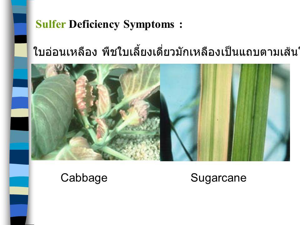 CabbageSugarcane Sulfer Deficiency Symptoms : ใบอ่อนเหลือง พืชใบเลี้ยงเดี่ยวมักเหลืองเป็นแถบตามเส้นใบ