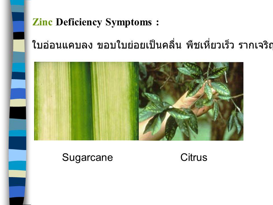 SugarcaneCitrus Zinc Deficiency Symptoms : ใบอ่อนแคบลง ขอบใบย่อยเป็นคลื่น พืชเหี่ยวเร็ว รากเจริญผิดปกติ