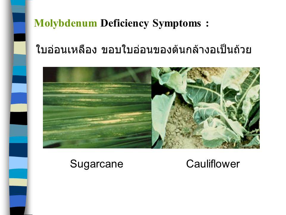 SugarcaneCauliflower Molybdenum Deficiency Symptoms : ใบอ่อนเหลือง ขอบใบอ่อนของต้นกล้างอเป็นถ้วย