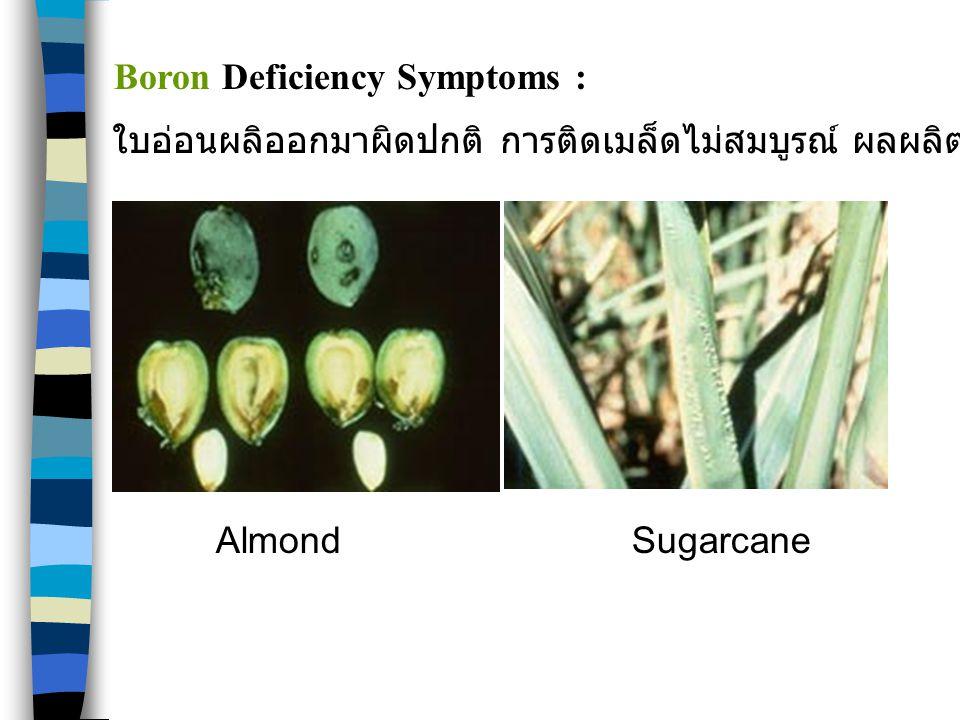 AlmondSugarcane Boron Deficiency Symptoms : ใบอ่อนผลิออกมาผิดปกติ การติดเมล็ดไม่สมบูรณ์ ผลผลิตมีอาการใส้กลวง