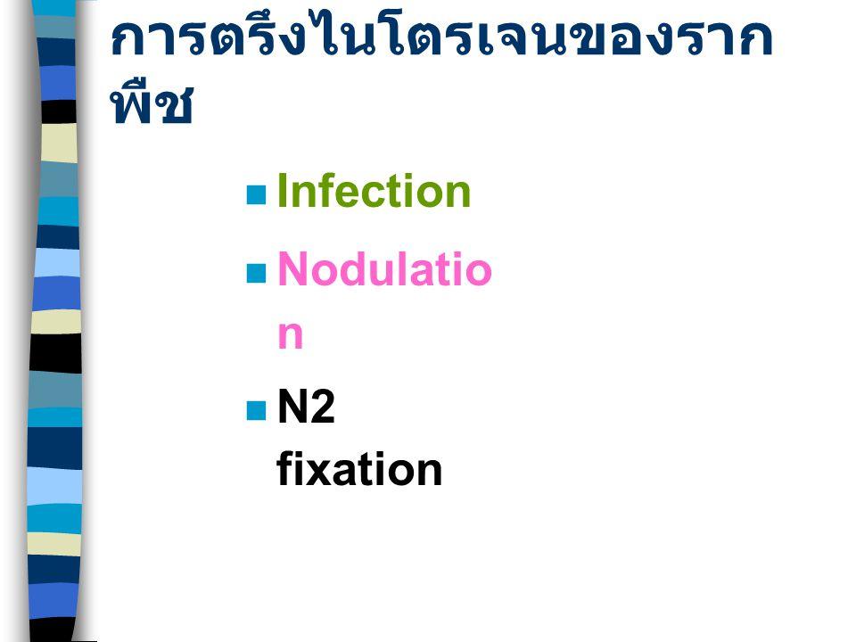 การตรึงไนโตรเจนของราก พืช Infection Nodulatio n N2 fixation