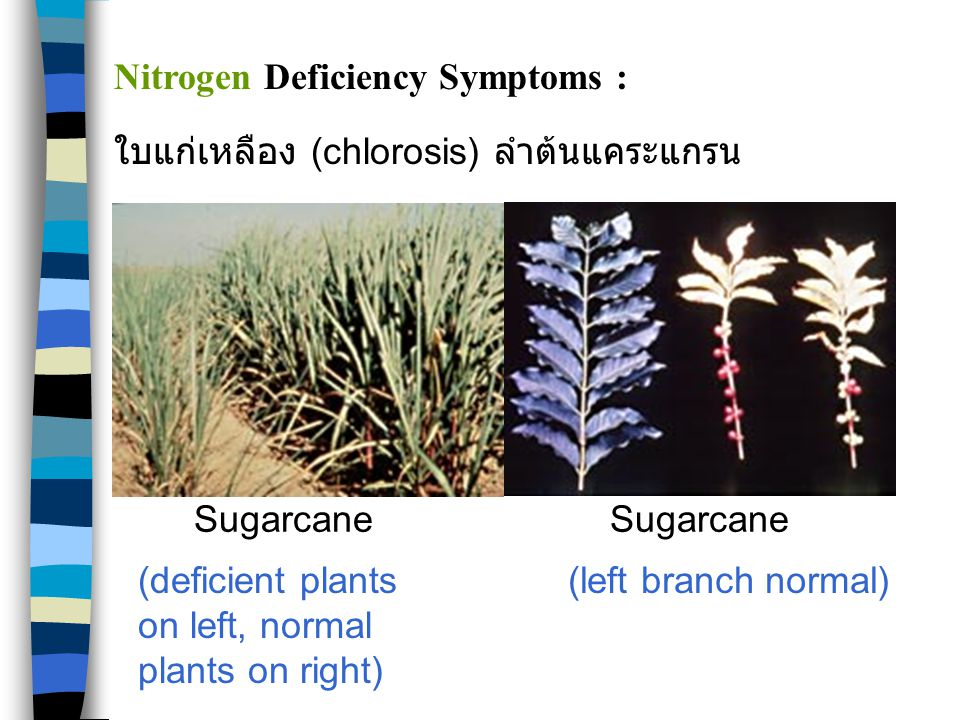 CornCotton Nitrogen Deficiency Symptoms :