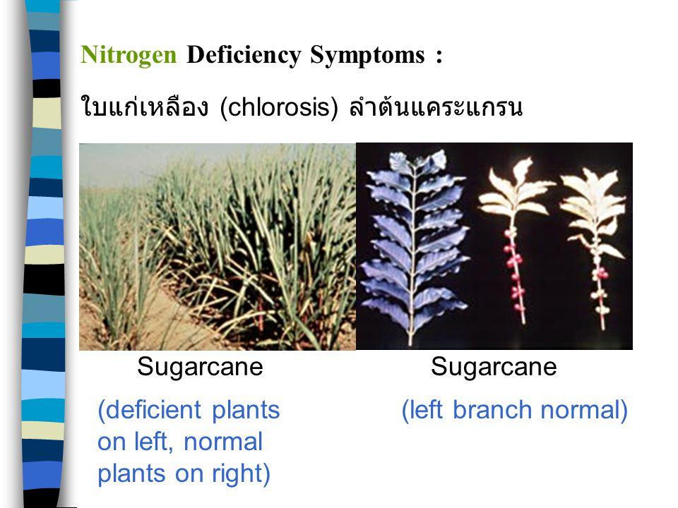 PepperPeanut Potassium Deficiency Symptoms :