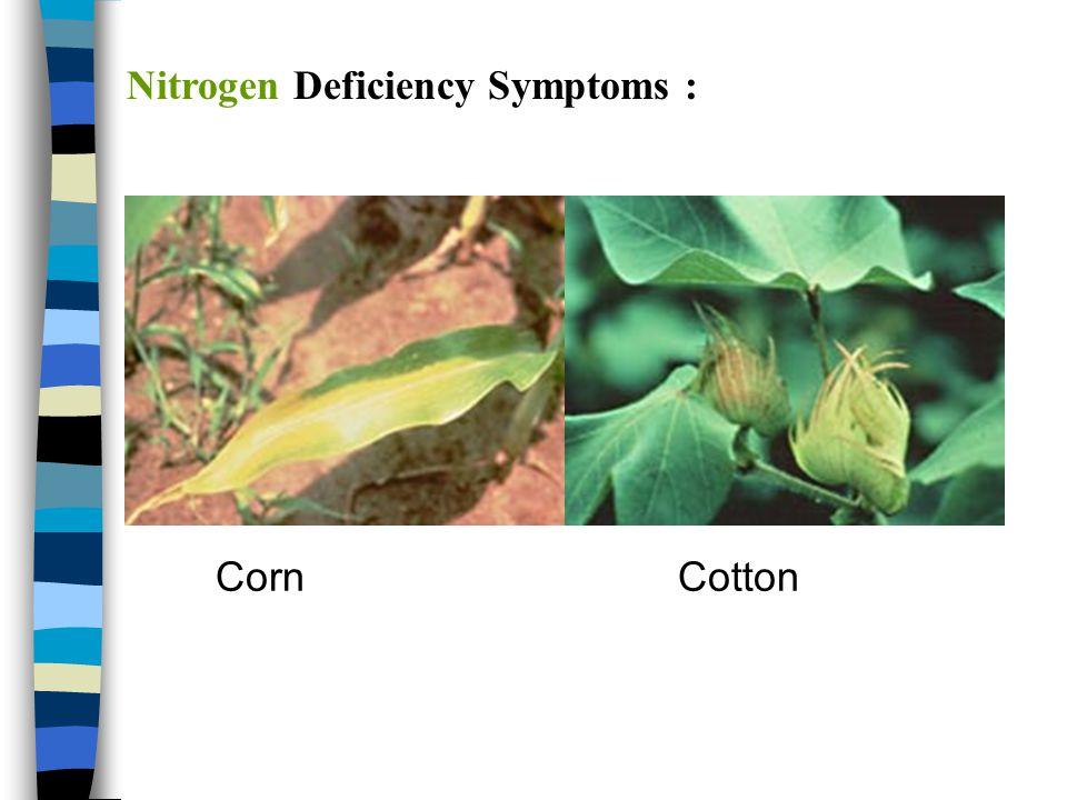 SorghumSoybeans Nitrogen Deficiency Symptoms :