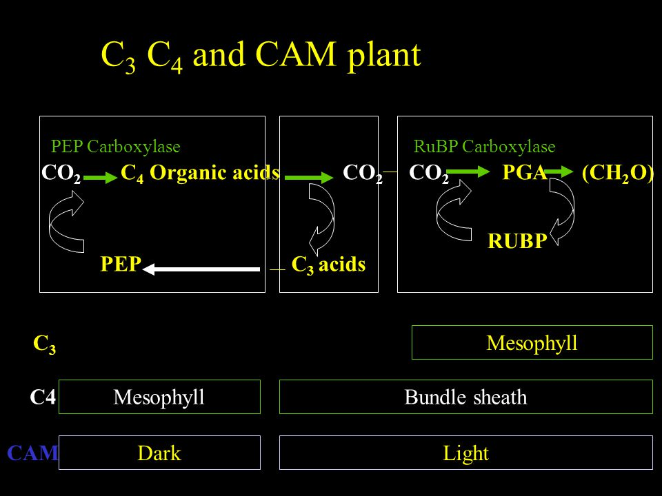 C 3 C 4 and CAM plant CO 2 C 4 Organic acids PEP CO 2 PGA(CH 2 O) C 3 acids RUBP C3C3 C4 CAM MesophyllBundle sheath Mesophyll DarkLight PEP CarboxylaseRuBP Carboxylase