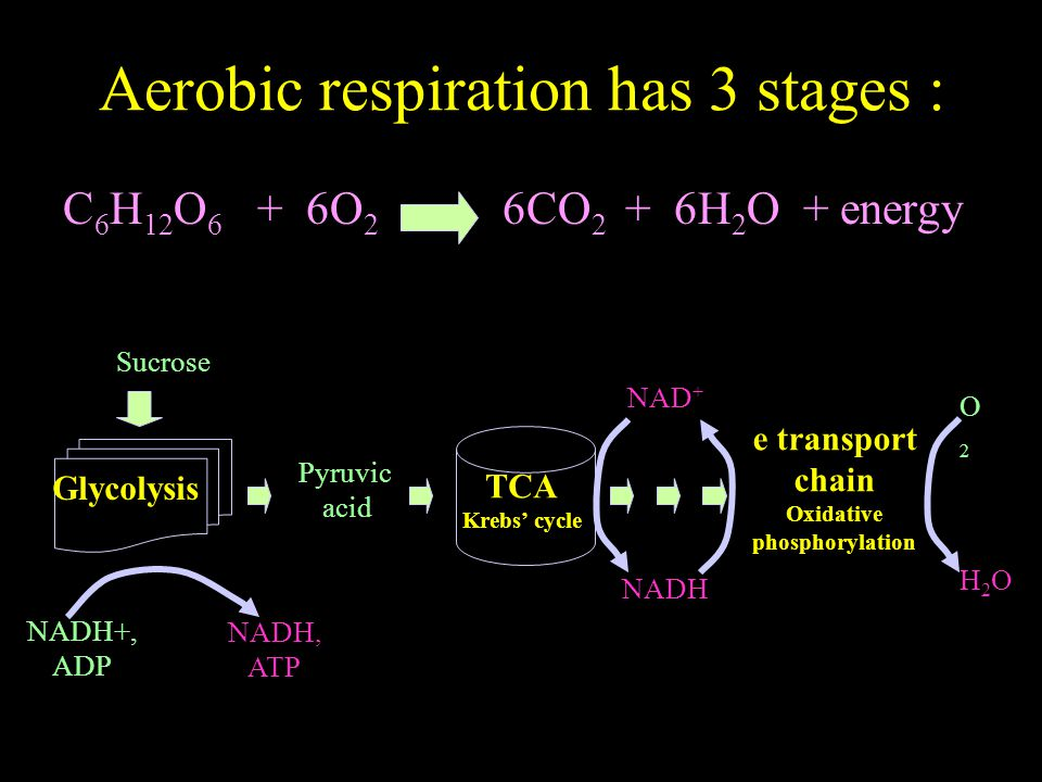 Aerobic respiration has 3 stages : C 6 H 12 O 6 + 6O 2 6CO 2 + 6H 2 O + energy Sucrose O2O2 H2OH2O NADH+, ADP NADH, ATP Glycolysis Pyruvic acid TCA Krebs' cycle e transport chain Oxidative phosphorylation NAD + NADH