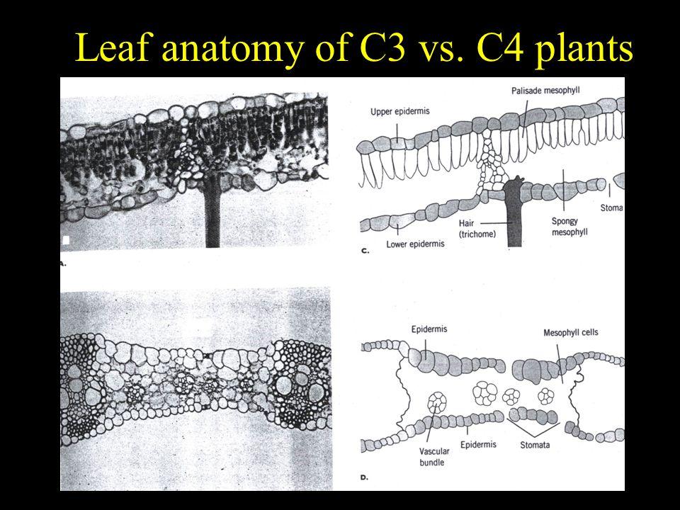 Leaf anatomy of C3 vs. C4 plants