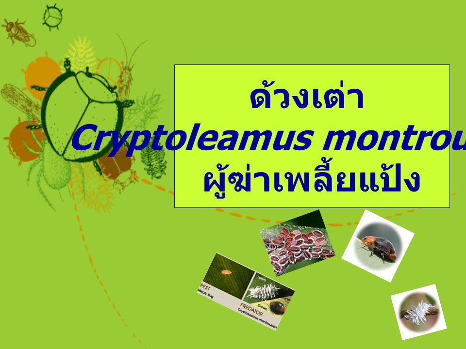 ด้วงเต่า Cryptoleamus montrouzieri ผู้ฆ่าเพลี้ยแป้ง