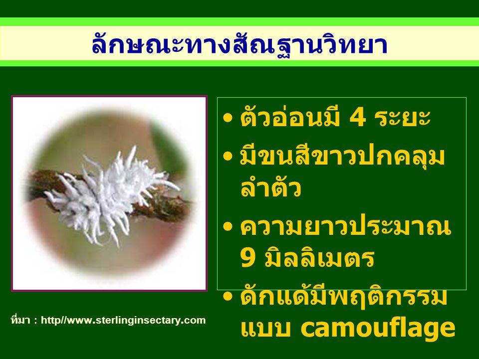 ลักษณะทางสัณฐานวิทยา ที่มา : http//www.sterlinginsectary.com ตัวอ่อนมี 4 ระยะ มีขนสีขาวปกคลุม ลำตัว ความยาวประมาณ 9 มิลลิเมตร ดักแด้มีพฤติกรรม แบบ cam