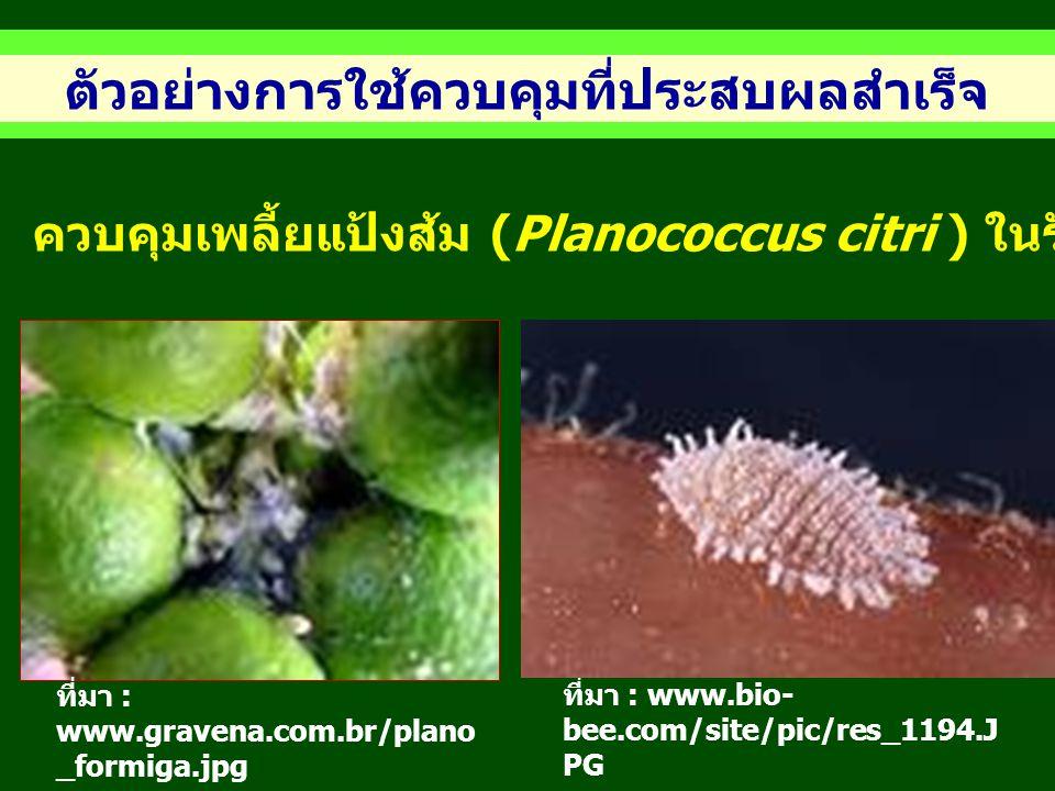 ตัวอย่างการใช้ควบคุมที่ประสบผลสำเร็จ ควบคุมเพลี้ยแป้งส้ม (Planococcus citri ) ในรัฐคาลิฟอร์เนีย สหรัฐอเมริกา ที่มา : www.gravena.com.br/plano _formiga