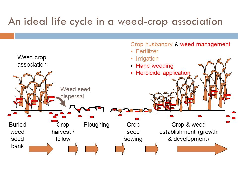 Competitive ability of four weed species on peanut grown on two soil types Weed speciesweed density yield reduction (%) (no/m row) sandy loam sandy clay loam Xanthium pensylvanicum 82060 Amaranthus retroflexus 8 070 Cassia obtusiflolia 82540 Ipomoea purpurea 84050 Economic threshold : Density of weeds (per row or per sq m.) which impact to crop yield loss inrelation to cost of control.