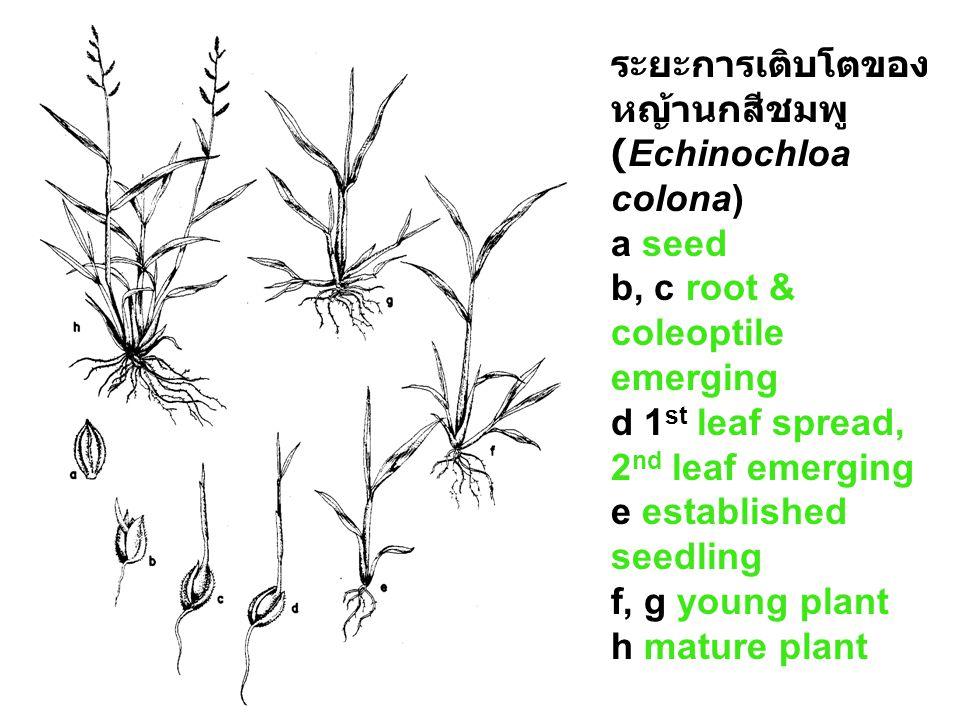 a spines (Cenchrus echinatus) b Fine rigid hairs (Mimosa pudica) c Fine soft hairs (Imperata cylindrica) d pappus (Ageratum conyzoides) ตัวอย่า งเมล็ด วัชพืช ที่ แพร่กร ะจาย ได้ดี