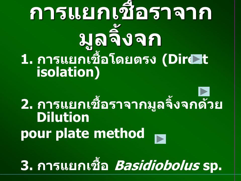 การแยกเชื้อราจาก มูลจิ้งจก 1. การแยกเชื้อโดยตรง (Direct isolation) 2. การแยกเชื้อราจากมูลจิ้งจกด้วย Dilution pour plate method 3. การแยกเชื้อ Basidiob