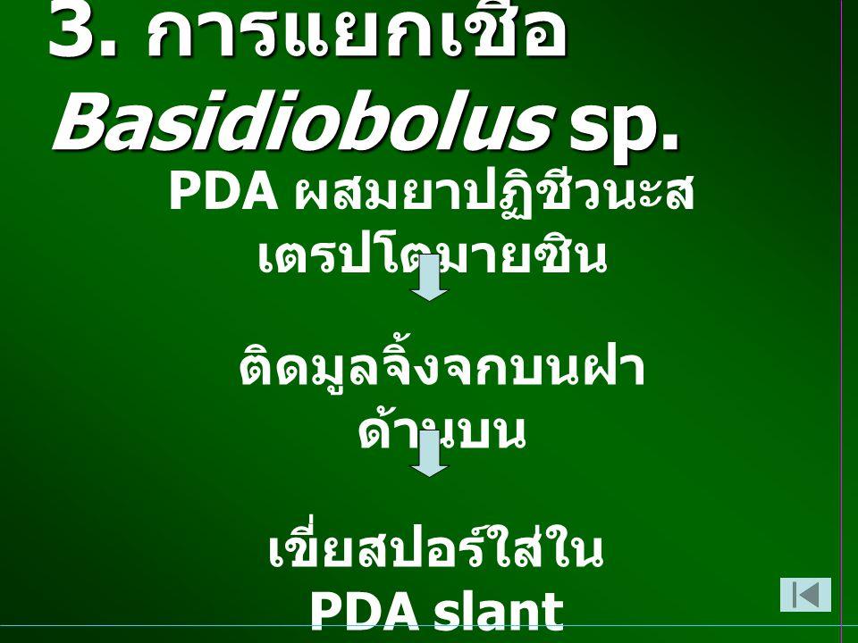 3. การแยกเชื้อ Basidiobolus sp. PDA ผสมยาปฏิชีวนะส เตรปโตมายซิน ติดมูลจิ้งจกบนฝา ด้านบน เขี่ยสปอร์ใส่ใน PDA slant