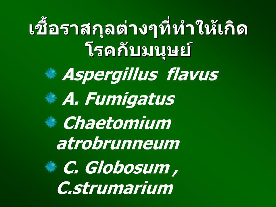 เชื้อราสกุลต่างๆที่ทำให้เกิด โรคกับมนุษย์ Aspergillus flavus A. Fumigatus Chaetomium atrobrunneum C. Globosum, C.strumarium