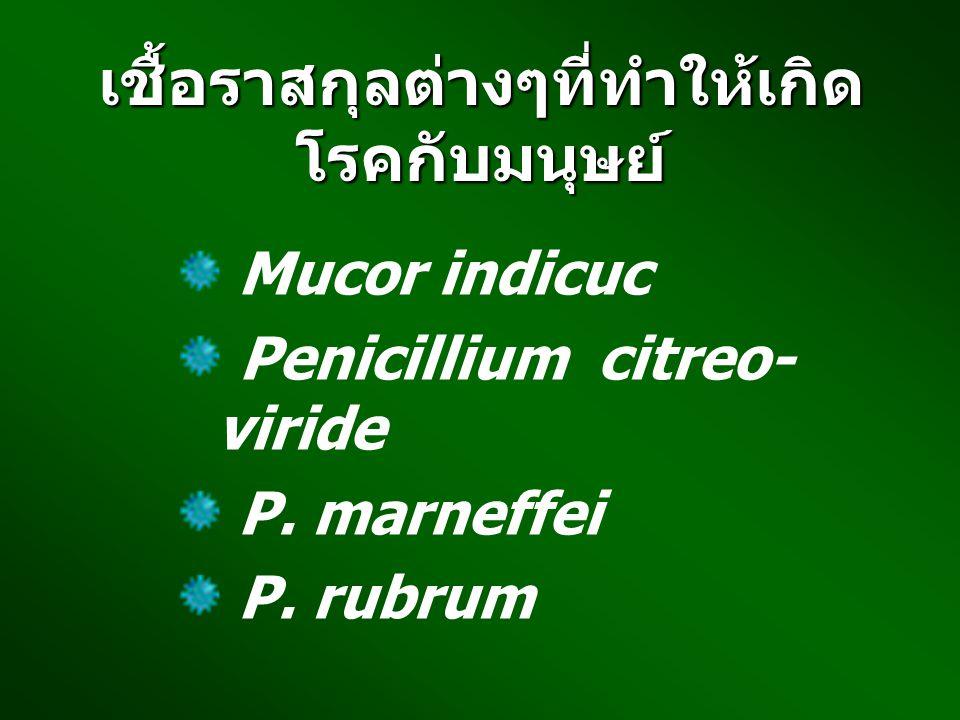 เชื้อราสกุลต่างๆที่ทำให้เกิด โรคกับมนุษย์ Mucor indicuc Penicillium citreo- viride P. marneffei P. rubrum