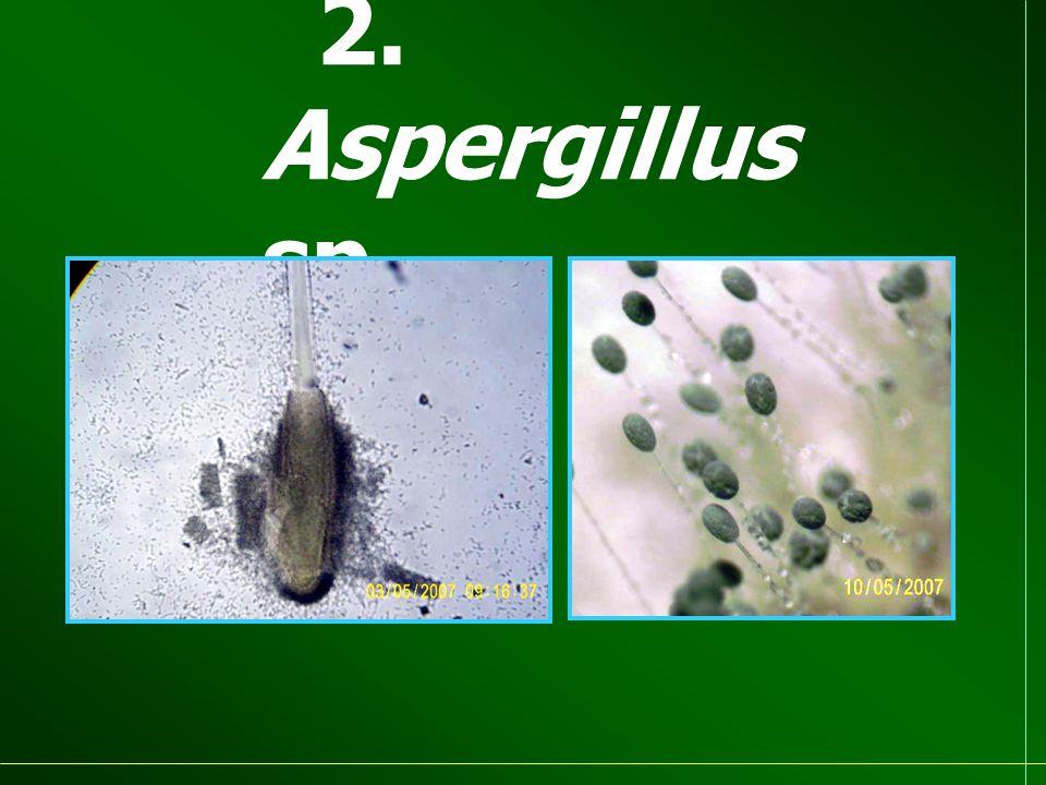 2. Aspergillus sp.