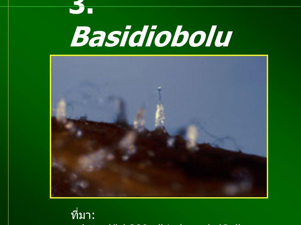 3. Basidiobolu s sp. ที่มา : http://lsb380.plbio.lsu.edu/Galle ry/pyx.jpg